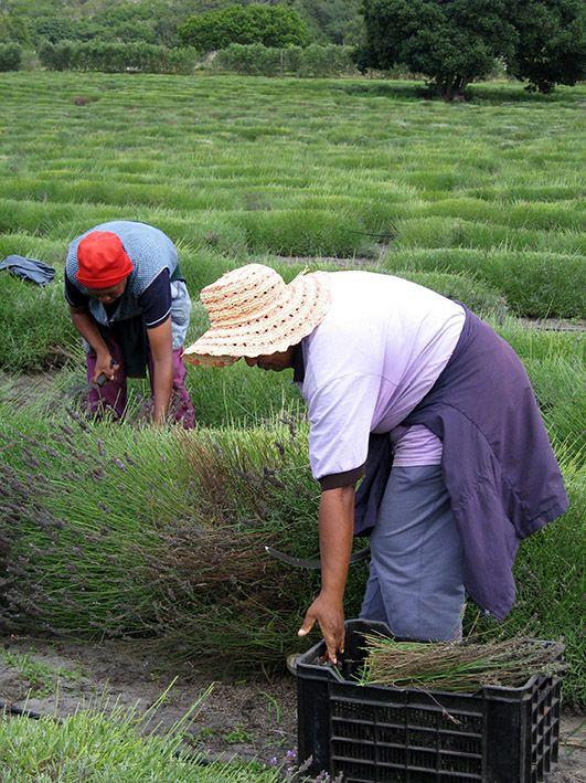 Gansbaai district: Lavender harvesting for lavender oil extraction.