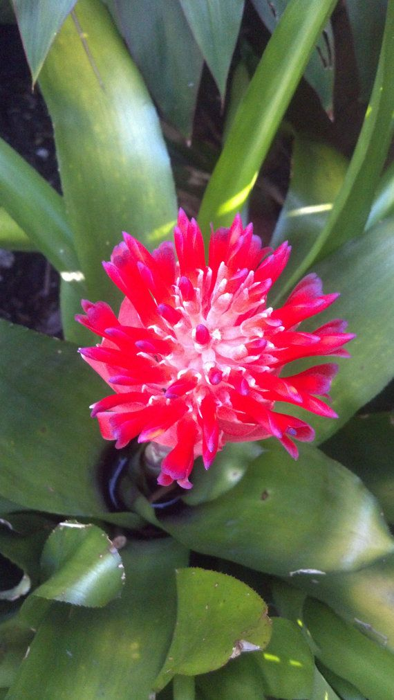 Blooming Bromeliad Air Plant Pups Green  by PattiesPassion on Etsy