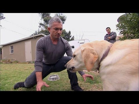 How to incorrectly 'train' an aggressive dog. Cesar Milan teaches learned helplessness in dogs, and does not treat the root cause of the behaviour. His methods have set back dog training decades, just when positive reinforcement was blossoming | Dog Whisperer: Showdown with Holly - YouTube
