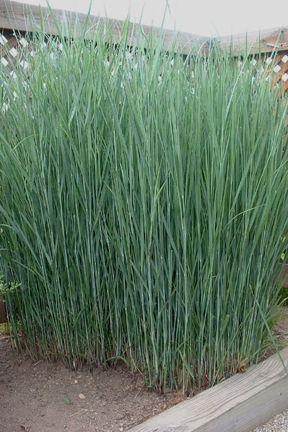 Panicum virgatum 'Heavy Metal', SWITCH GRASS