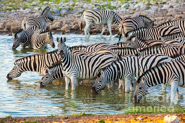 Zebras at waterhole in Etosha National Park, Namibia, Africa, right at the sunrise when they all start coming to the waterhole.