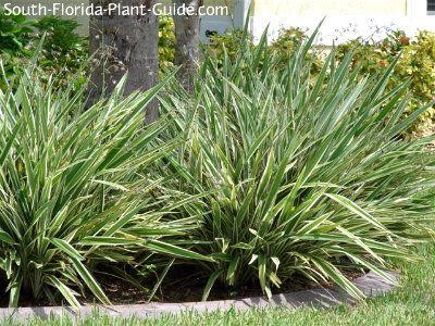 blueberry flax lily around palms