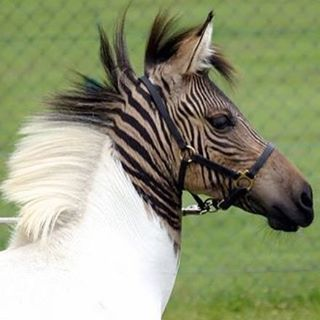 What do you think about Eclyse❓ A Zebra / Horse hybrid called Zebroid or Zorse❗️  Tag your friends❗️ #F4F #animal #love #animals #dog