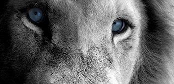 modré oči lva