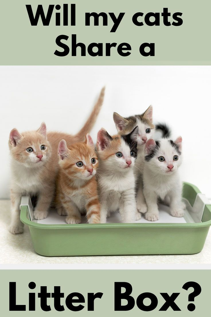 Will My Cats Share A Litter Box Article By Litter Boxes Com Litterboxes Tcs Thecatsite Cat Cat Training Litter Box Kitten Care Litter Box Training Kittens