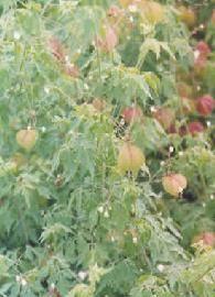 Cardiosperme - Le cardiosperme ou cardiospermum en latin est une plante médicinale de grande importance pour le traitement des diverses maladies et affections de la peau, quelles soient inflammatoires ou de type allergique. Le cardiospermum soigne l'eczéma et les dermatoses, le prurit et les abcès, les ré... http://www.complements-alimentaires.co/wp-content/uploads/2013/04/cardiospermum_.Cardiospermum_halicacabumJPG.jpg - Par Nathalie sur Compléments alimentaires