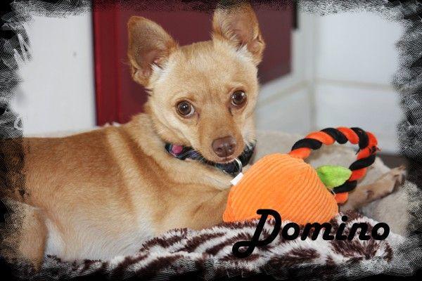 Chiranian dog for Adoption in Anaheim Hills, CA. ADN-27113 on PuppyFinder.com Gender: Male. Age: Adult