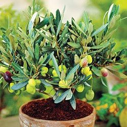 25 best ideas about sweet olive tree on pinterest for Olive trees in pots winter care
