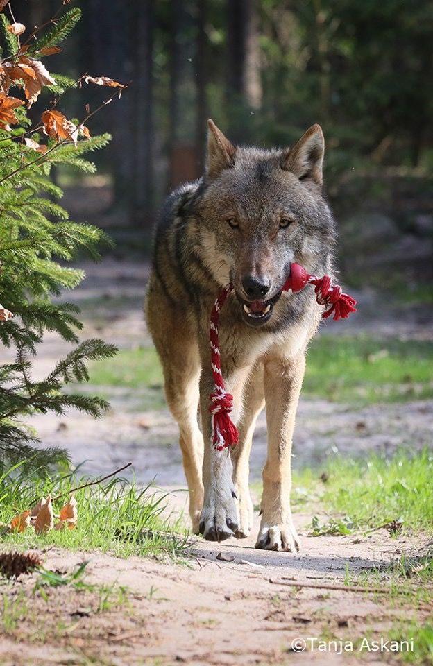 российская династия фото волка с вишней меня встретите