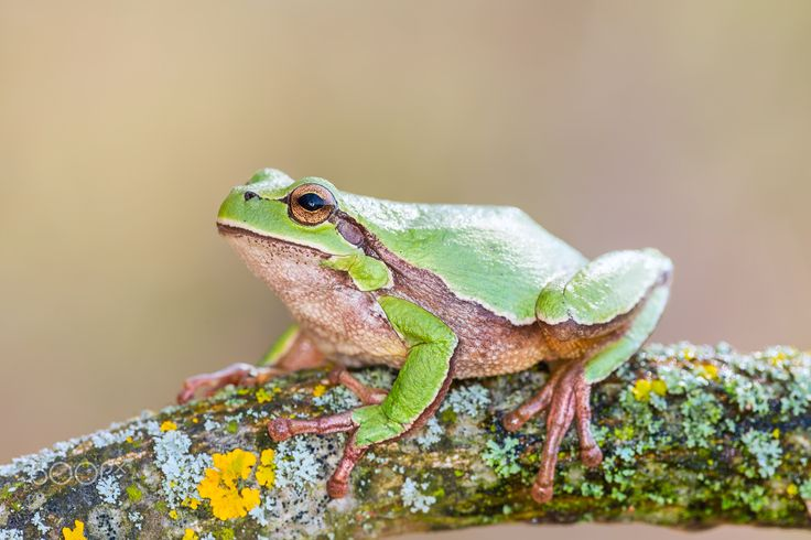 European tree frog - Female European tree frog (Hyla arborea)