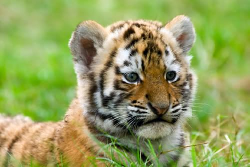 Javan Tiger Cub ;) pawdorable