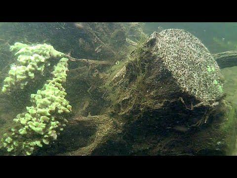 Gąbki słodkowodne Freshwater sponges Nadecznik Stawowy - YouTube