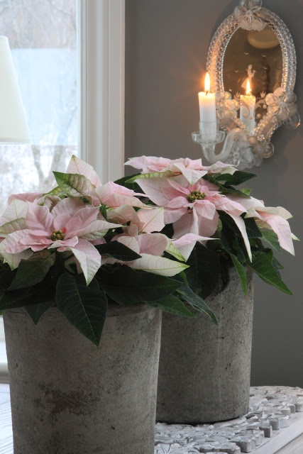 Julens planter with pale pink Poinsettias, so lovely //// Beautiful and special. I really like this display.
