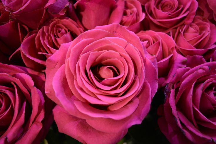 roses-1532957_960_720.jpg (960×640)