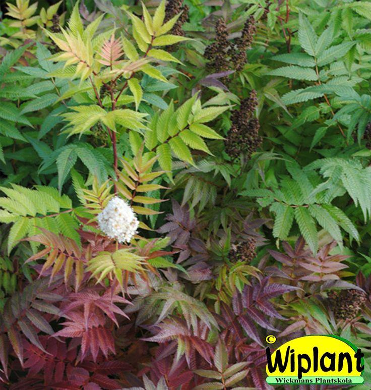 Sorbaria sorbiolia, Rönnspirea. Rönnlika blad, vita blommor. Höjd: 1-1,5 m.
