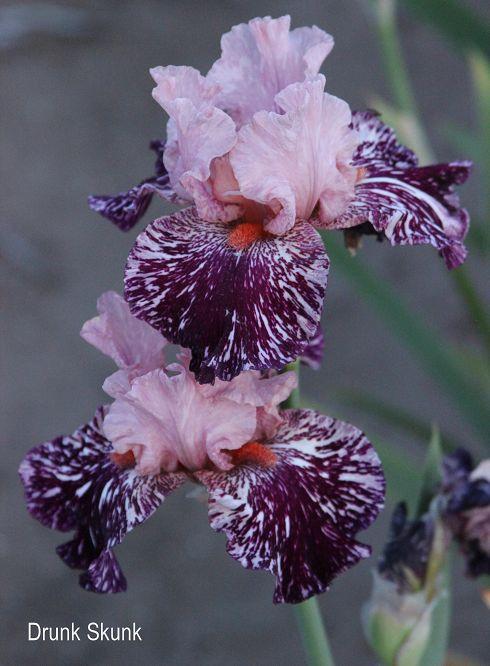 "DRUNK SKUNK -- Tall Bearded Iris 32"" EM (Kasperek 2012)"