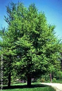 Ginkgo, (Maidenhair Tree)—Ginkgo biloba - 25-50' high, 25-35' wide.  Full sun, various soils