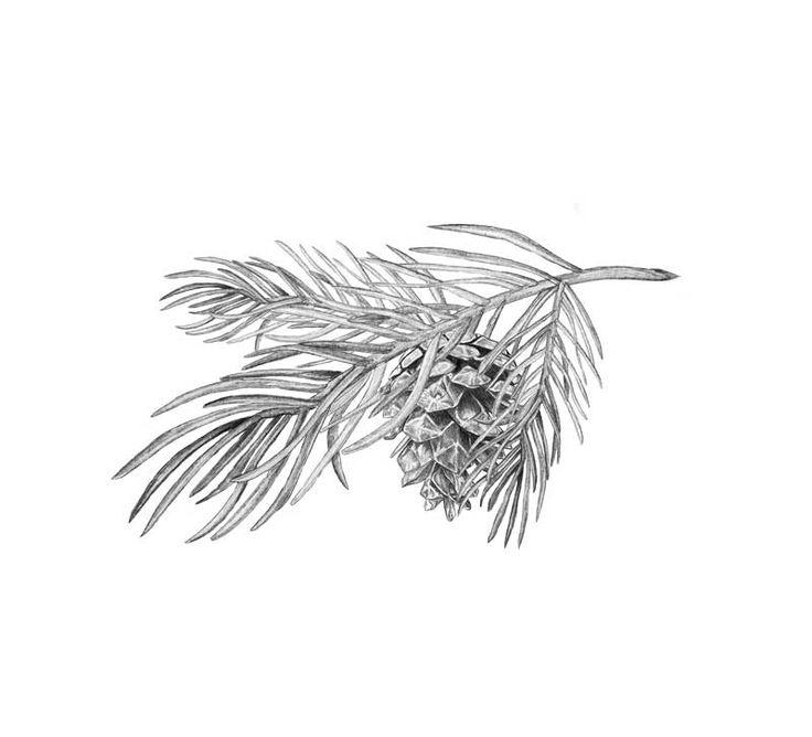 En liten tallkvist  Pinecone