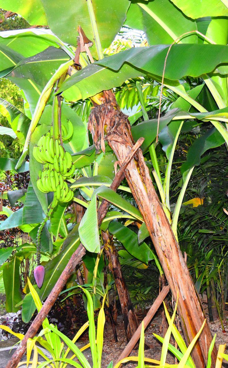 Banana tree in garden near Spa