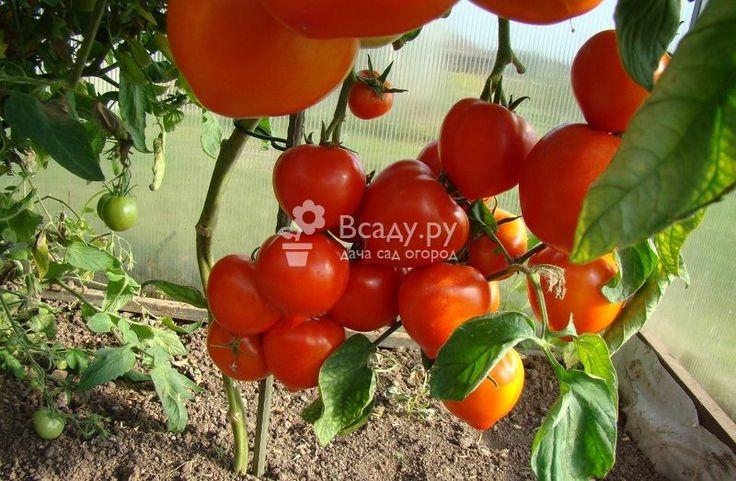 Подвязка и пасынкование помидоров детерминантных и индетерминантных сортов. Какие сорта нуждаются в подвязке и прищипывании, а какие нет, как их формировать