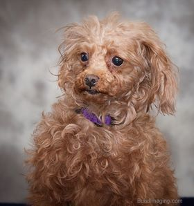 Standard Poodle Rescue dogs for adoption | Chicklet is absolutely adorable. Mike and I were seriously considering adopting her. She is even cuter now that she has had a haircut! If you want a poodle check out SPIN!