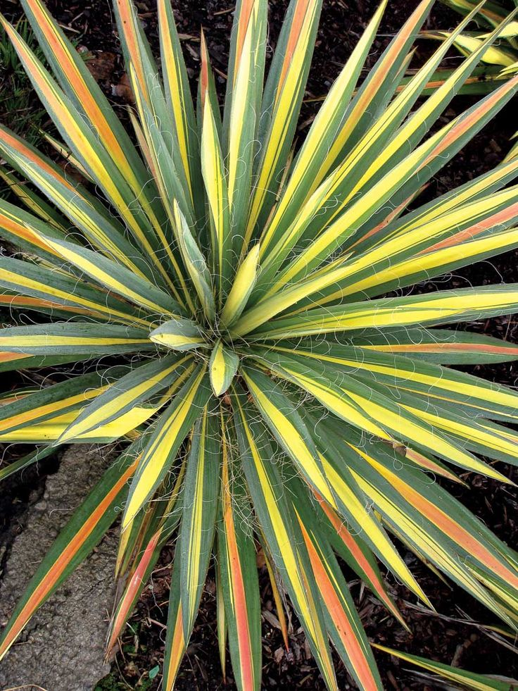 Yucca filamentosa 'Color Guard' Summer blooms of Yucca filamentosa.
