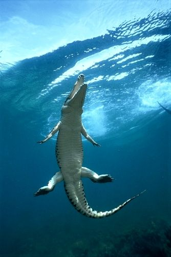 Saltwater Crocodile or Estuarine Crocodile (Crocodylus porosus) surfacing to breath, Oro Bay, Papua New Guinea by Mike Parry...