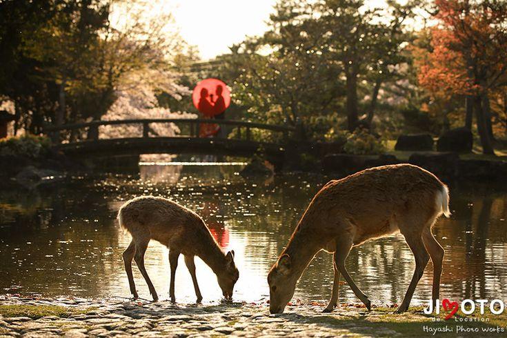 奈良前撮りロケーション撮影 桜と鹿と|Hayashi Photo Works