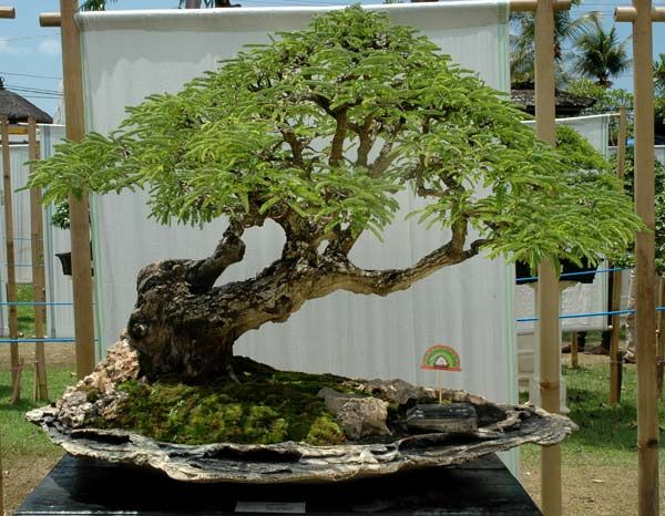 best 25 bonsai ficus ideas on pinterest bonsai bonsai trees and bonsai forest. Black Bedroom Furniture Sets. Home Design Ideas