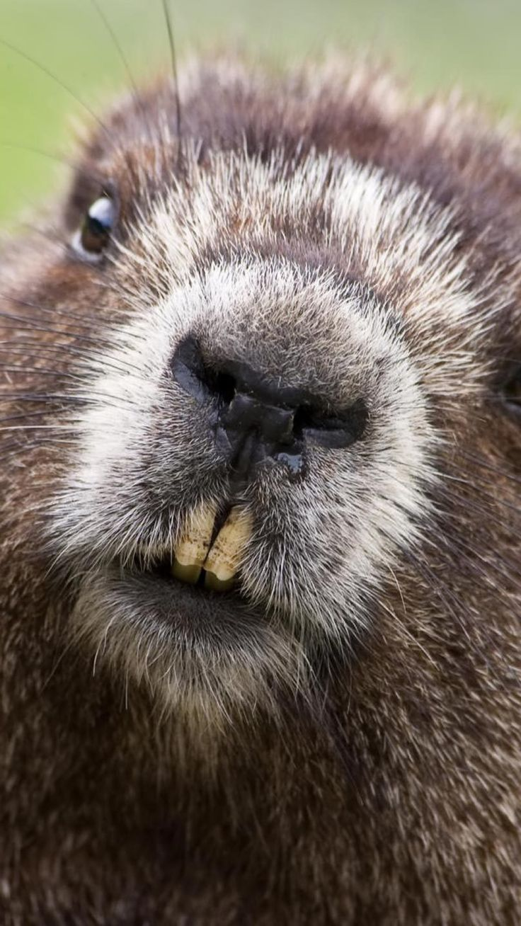 50 best About a Beaver images on Pinterest | Beavers, Beaver logo ...