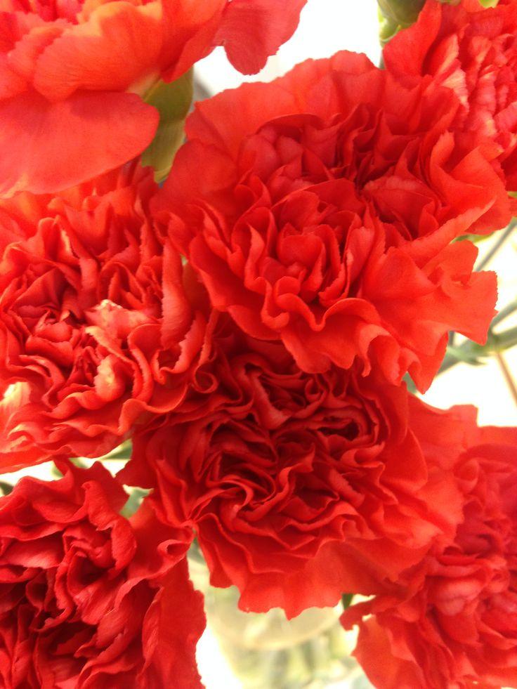 Rød nellik - Dianthus