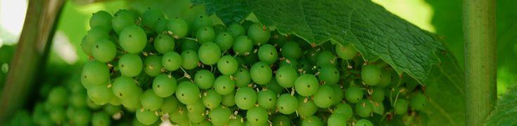 Variedades de uvas para a produção de vinho | Vinhopedia