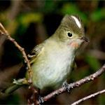 Fío fío - Aves de la Región del Maule