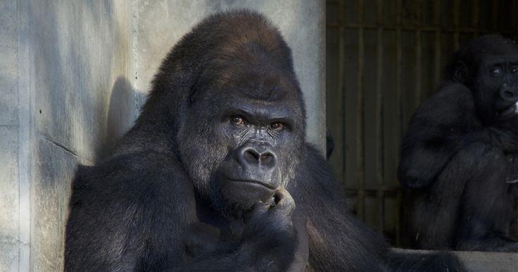 Gorila símbolo sexual do Japão continua atraindo multidão de mulheres