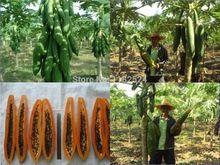 Envío gratis 50 unids inusual forma torpedo Carica Papaya ' Burliar Long ' en un enano semillas de árboles(China (Mainland))