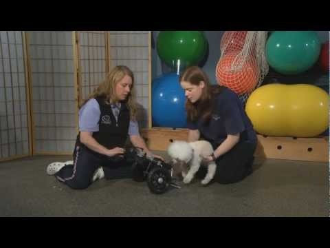 HOW CAN A WHEELCHAIR HELP MY DISABLED DOG?...Your dog can live a happy healthy life with a wheelchair. Tania Costa of Canine Wellness Centre explains how dog wheelchairs work and why dogs enjoy their life on wheels.