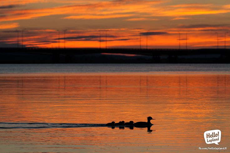 A family of ducklings sailing into the sunset in Rovaniemi.