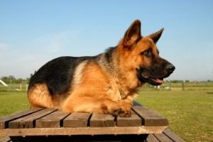 German Shepherd Health Problems - PetCareRX