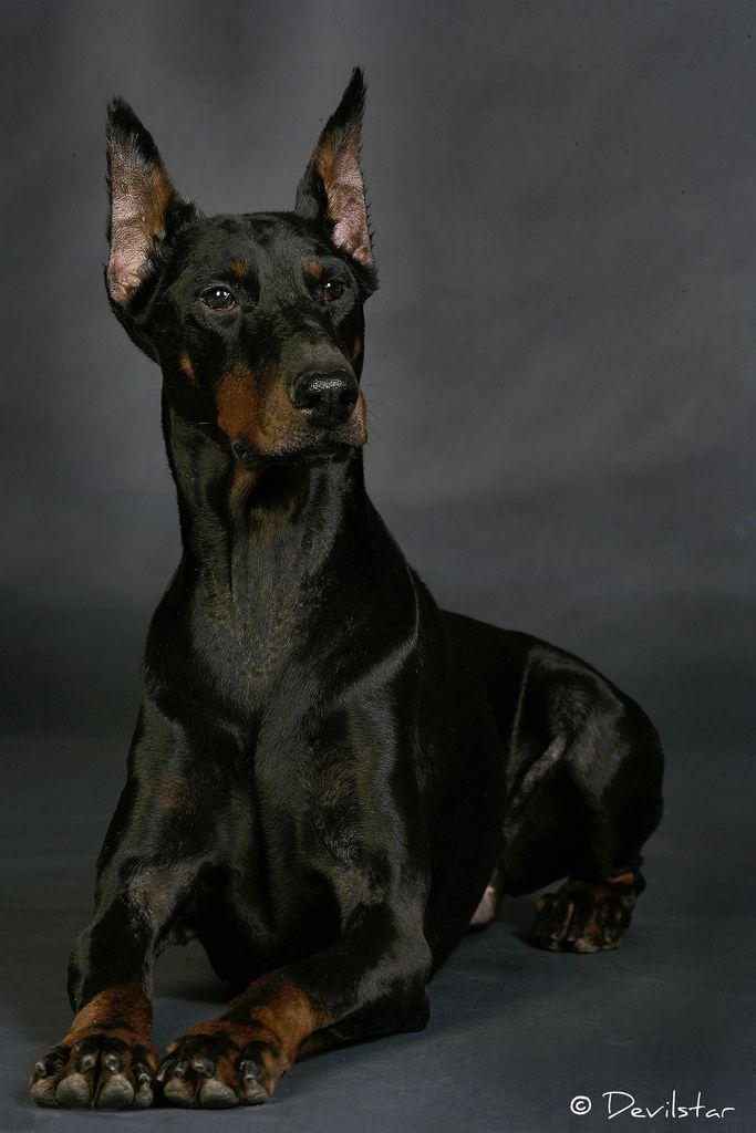 216 best dogs fci 2 pinscher and schnauzer molossoid for Pinscher temperamento