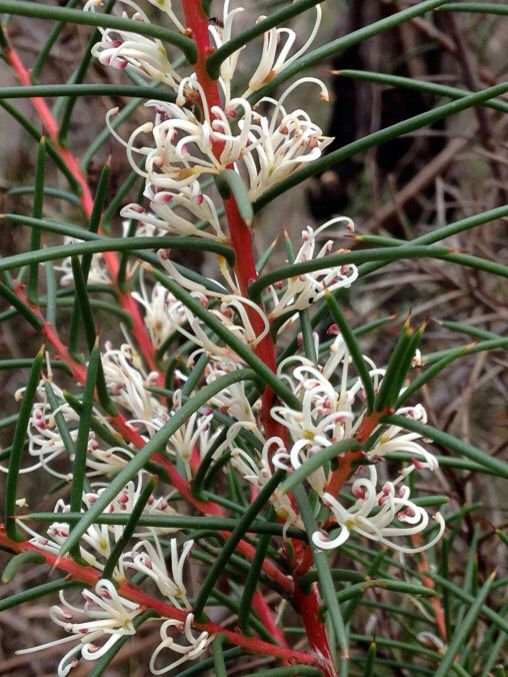 Bushy Needlewood (Hakea decurrens) Native and widespread in NSW, Victoria and Tasmania in Australia.