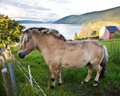 A fjord horse and his fjord in Norway.