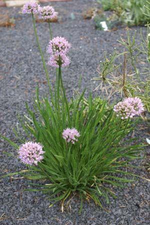 Allium senescens 'Lisa Blue'Allium senescens 'Lisa Blue'  zon   lilaroze   aug. - sept.   30 cm   9 pl. per m²   3 €   R2      Deze Looksoort is één van de weinig bekende eetbare soorten die van Europa tot aan het Verre Oosten voorkomt. Het, bij deze selectie van P. de Jong, blauwgroene loof is aan de onderzijde afgerond, dit in tegenstelling tot A. nutans die platte, wat gedraaide bladeren heeft. Het is hier op de kwekerij een van de laatst bloeiende Sieruien, waarbij ook het blad…