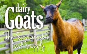 Dairy Goats: The Sustainable Food Supply