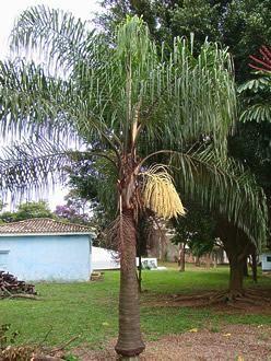 O jerivá é uma palmeira de elevado valor ecológico e ornamental, sendo utilizada largamente tanto em projetos paisagísticos quanto na recuperação de áreas degradadas...