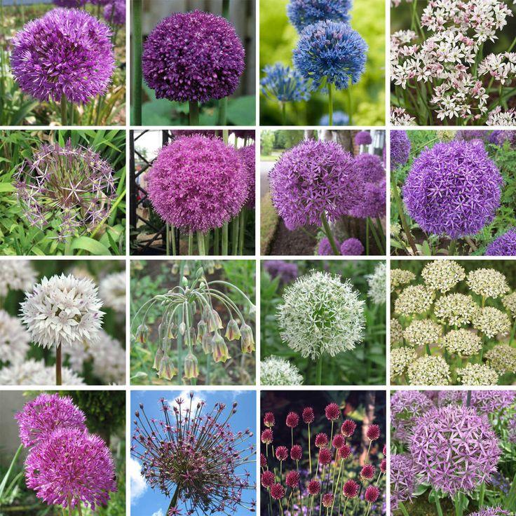 Allium Bulbs Perennial Spring Flowering Ornamental Onions Garden Plant Bulbs #Gardens2you