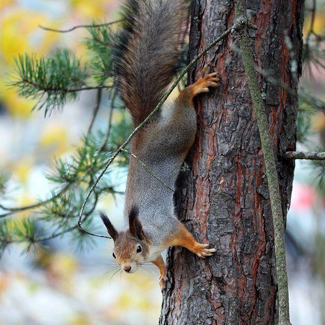 #orava #ardilla #squirrel #nature #naturephotography #canon #canonphotography #squirrelphotography #wildlife #nofilter #tattisphotos