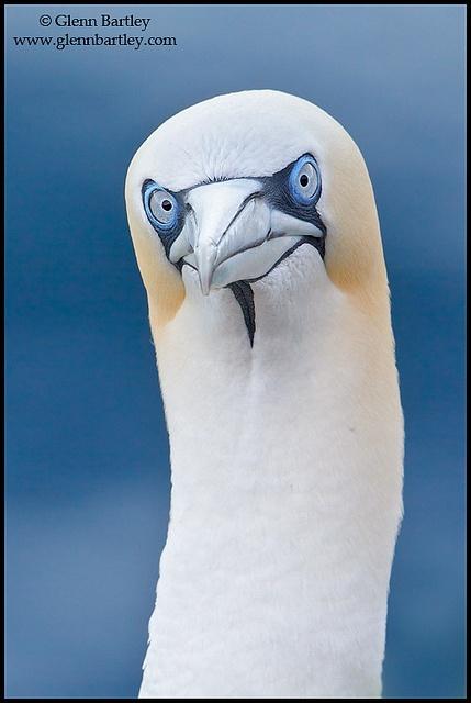 look at that face! ;) morus bassanus (northern gannet), by glenn bartley - www.glennbartley.com, via flickr
