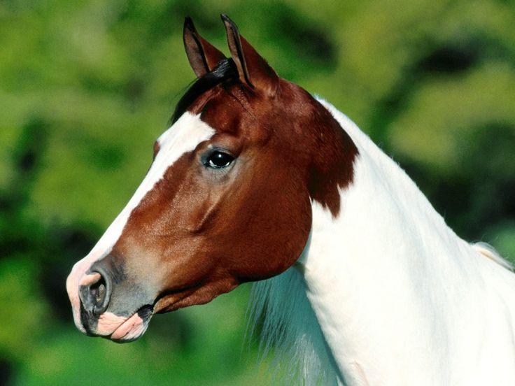 Cabeça de um cavalo hd. Fotos de cavalos