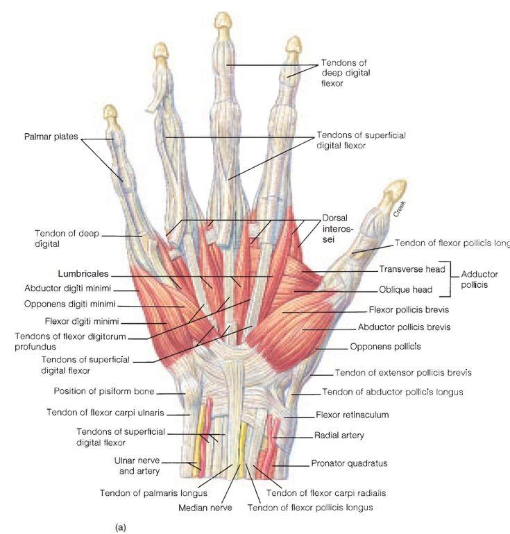 Hand structure anatomy
