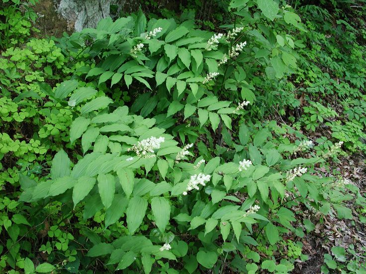 17 best images about native indiana plants